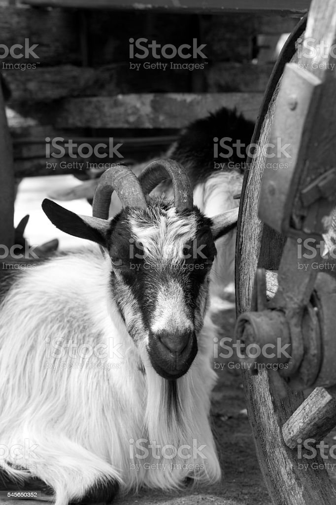Goat resting under old wooden cart stock photo