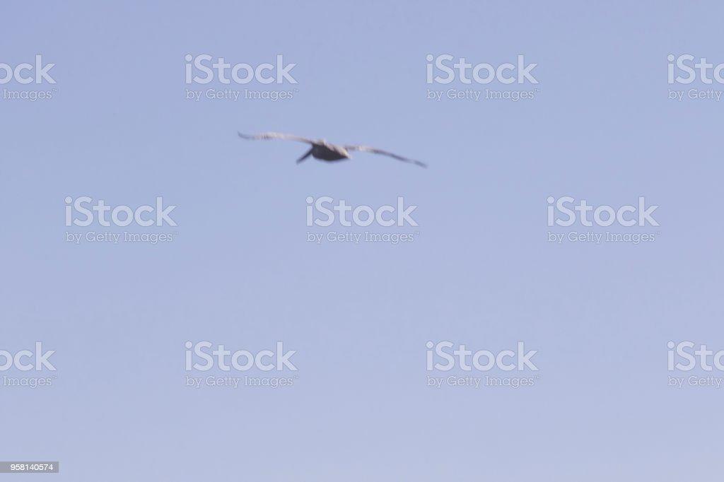 Goat Rock Beach - northwestern Sonoma County, California. Pelicans...