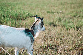 A goat runs on a green field. Leather leash. White goat