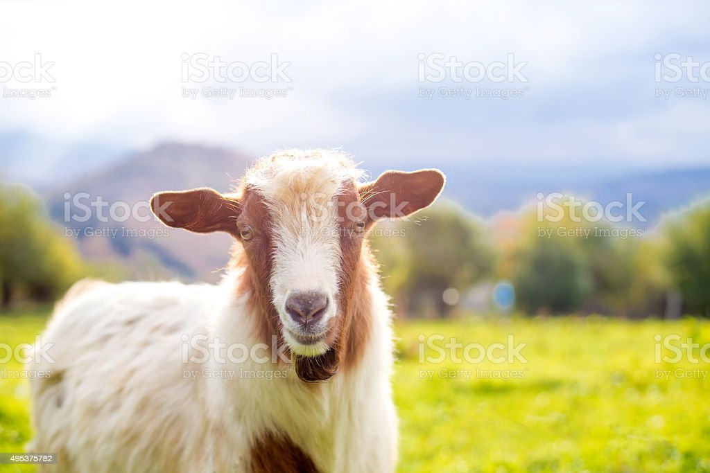 Goat Selective Focus Over The Goats Head Copy Space Stock