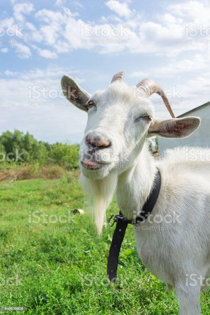 Cabra mostra língua na grama - foto de acervo