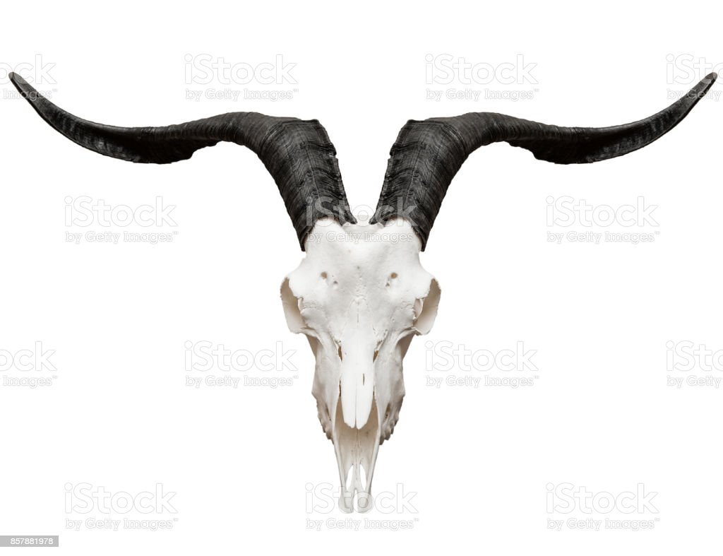 Goat skull isolated on white stock photo