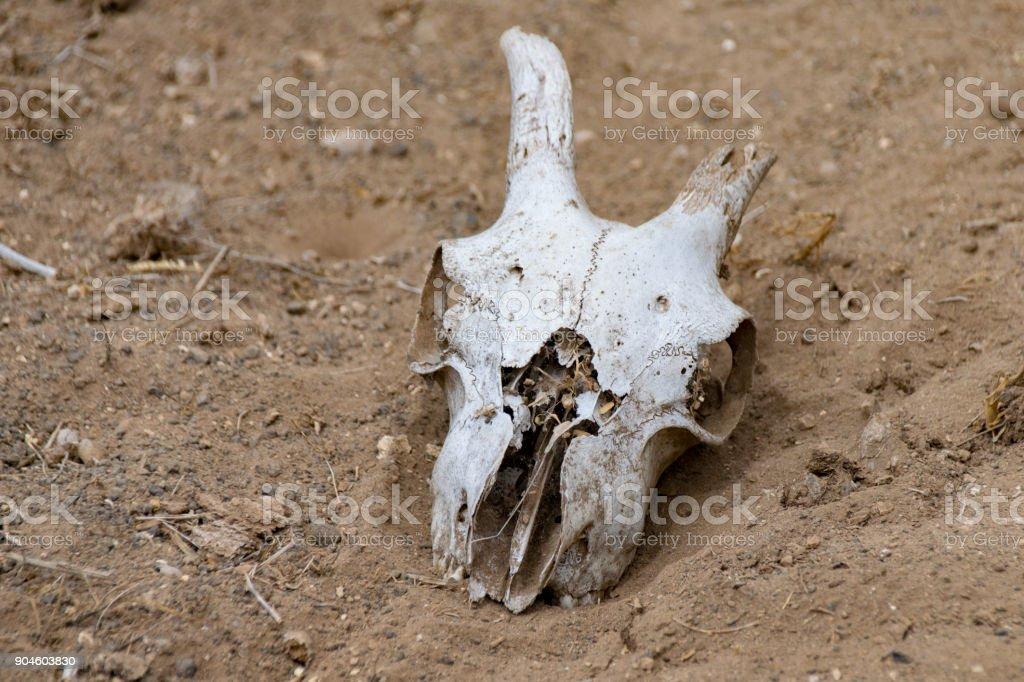 Goat skull lying on dry, dust ground stock photo