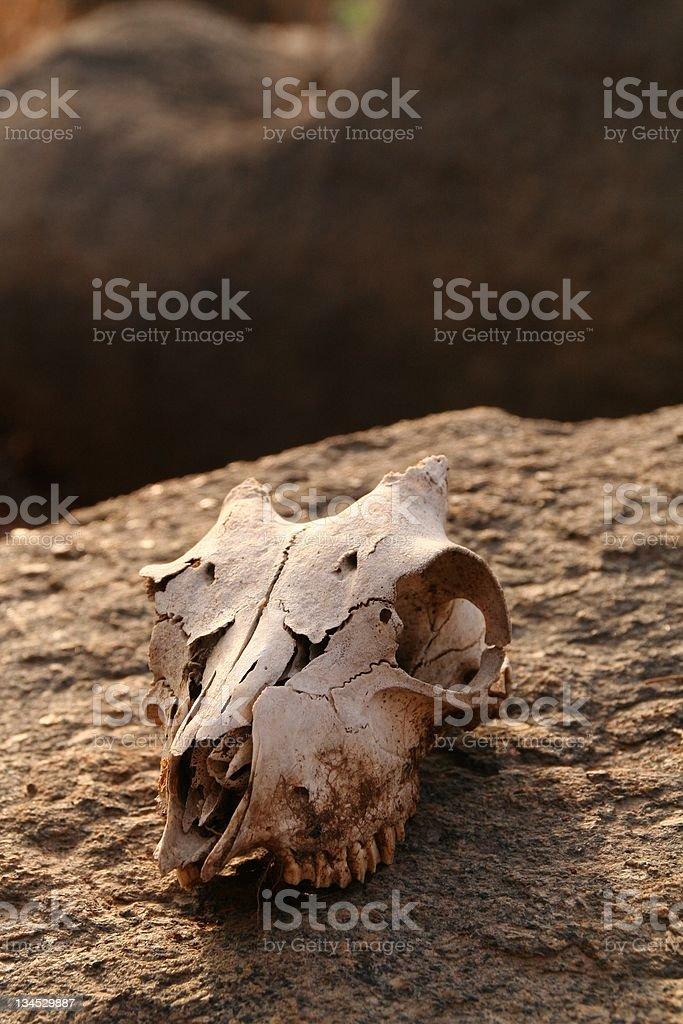 Goat Skull on a Rock royalty-free stock photo