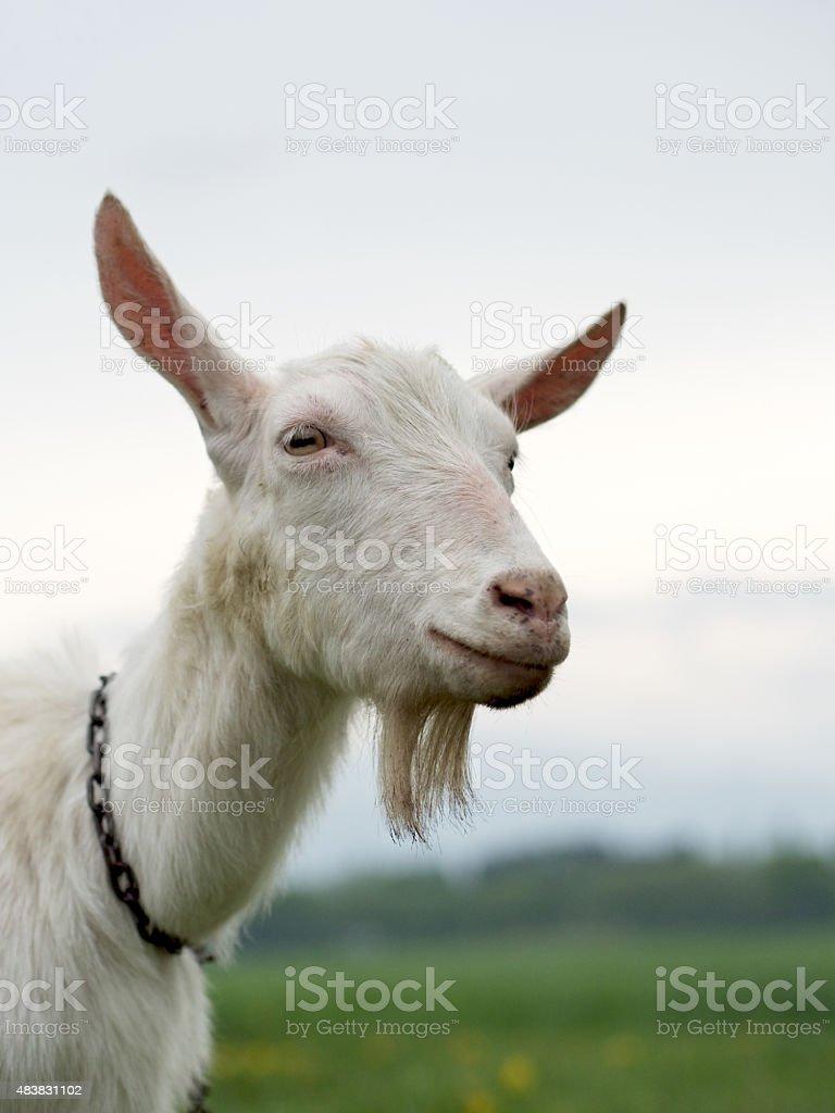 Goat smiling stock photo