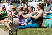 A goat stands among women stretching in a goat yoga event at a public park on April 29, 2018 in Suwanee, GA.