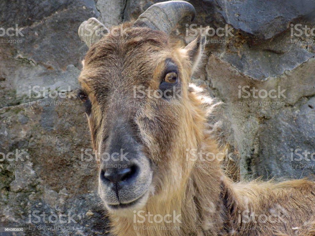 Olhares de cabra para a câmera - Foto de stock de Agricultura royalty-free
