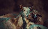 Sheep, Serbia, Cattle, Animal,