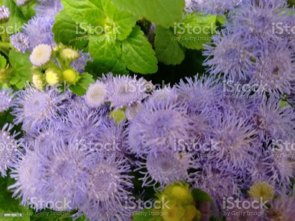 Goat weed flowers stock photo