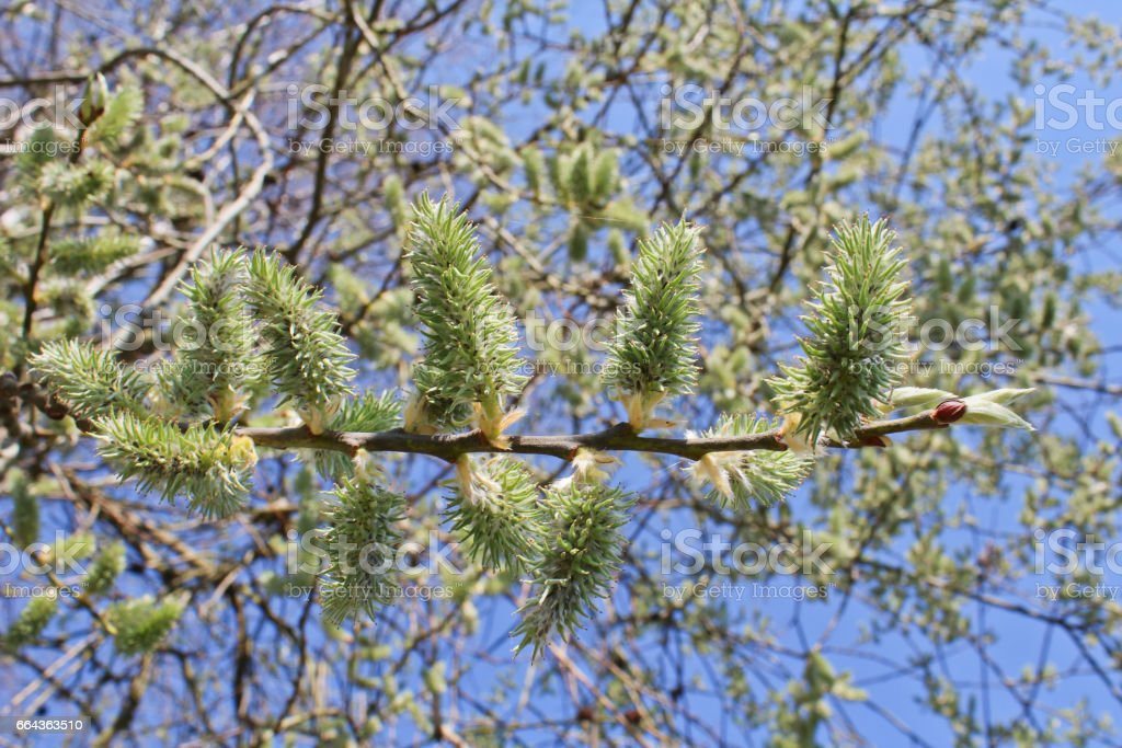 Goat willow with blue sky stock photo