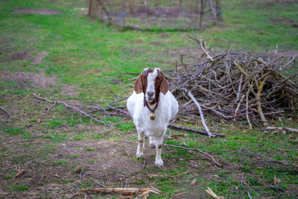 A goat with a bell around his neck is standing in the garden stock photo