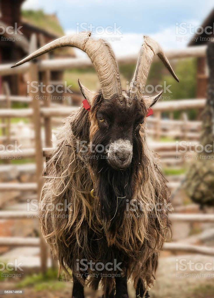 Goat with big horns stock photo