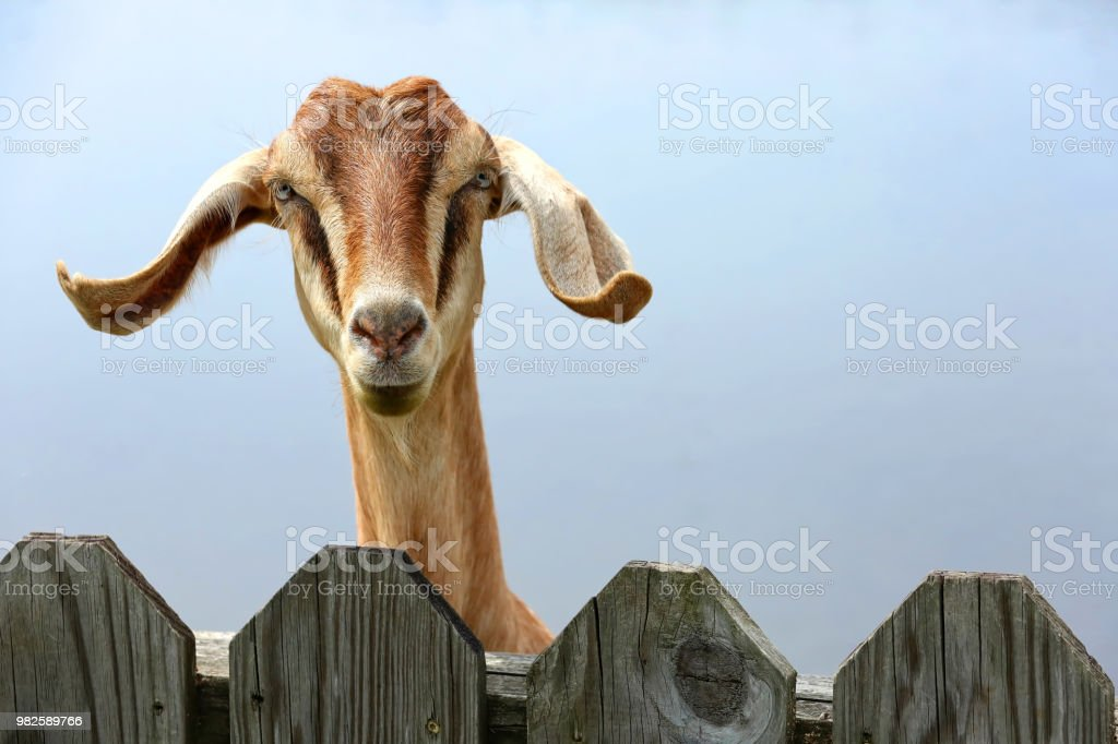 Goat with floppy ears stock photo