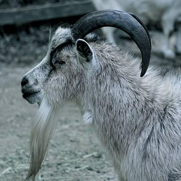 chèvre et bouc - année du mouton photos et images de collection