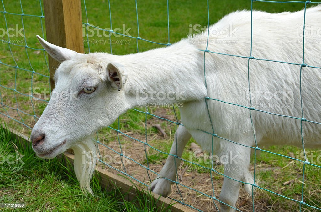 Goat with its head stuck stock photo