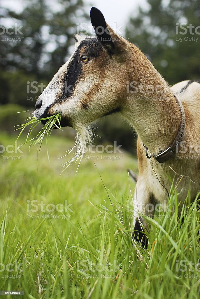 Goat with Mouth Full of Grass stock photo
