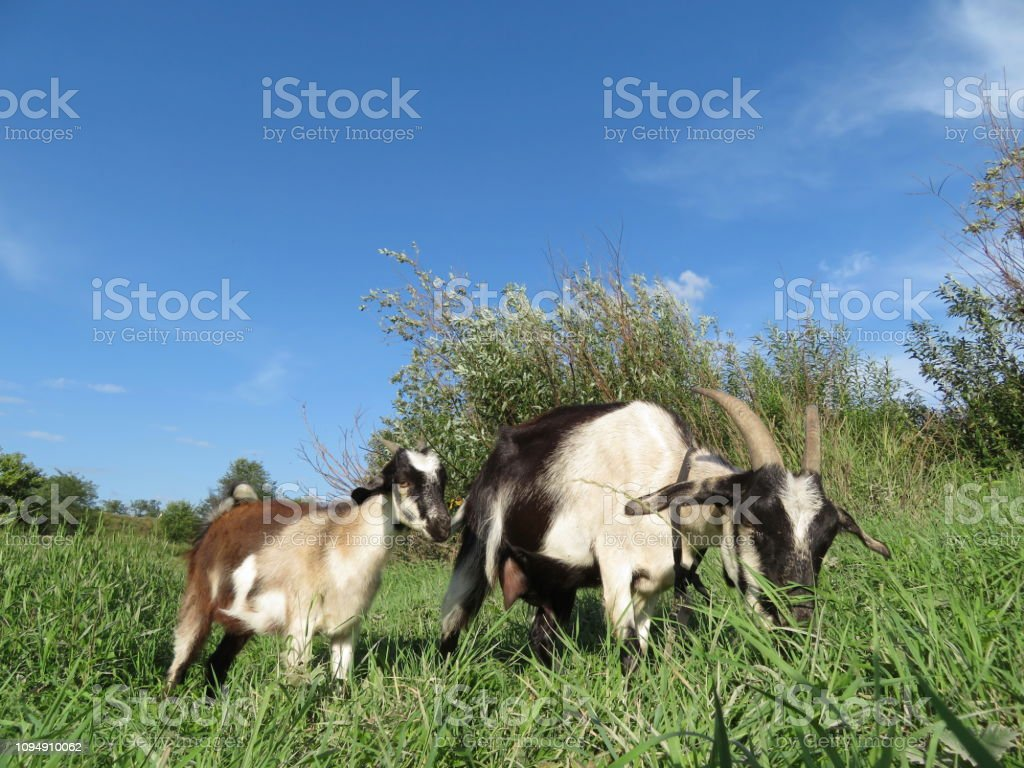 Goat With The Kid Grazing On A Green Meadow Near The Forest