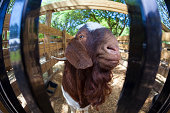 A Nubian ram takes a hard and close look at the camera.