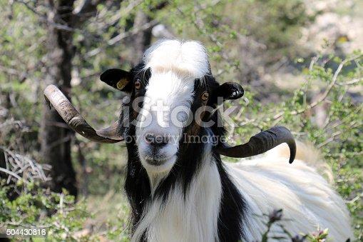 istock Goath Head 504430816