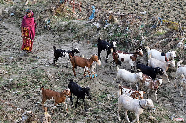 Goatherd moves with his goats stock photo