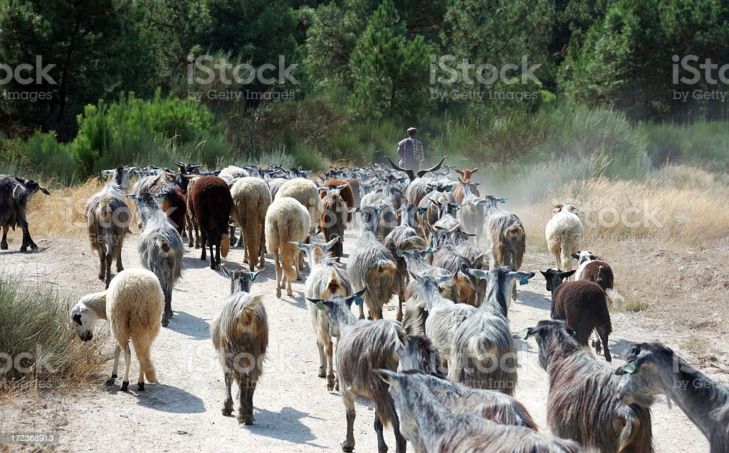 Goatherd on Douro region, Portugal royalty-free stock photo