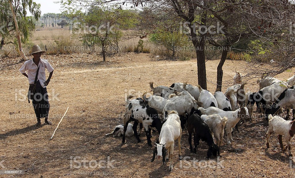 goatherd with his goats royalty-free stock photo