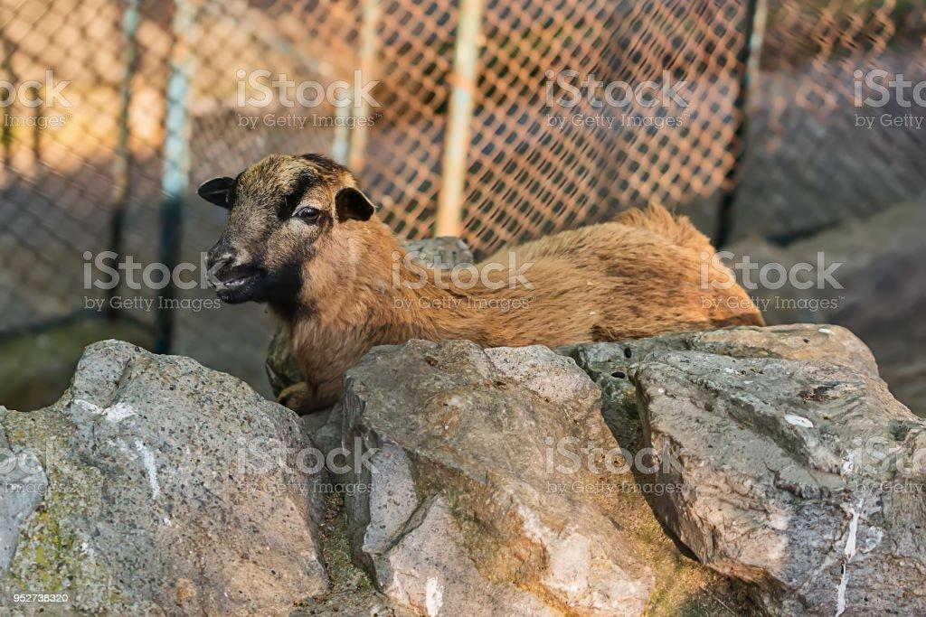 Goatling in captivity stock photo