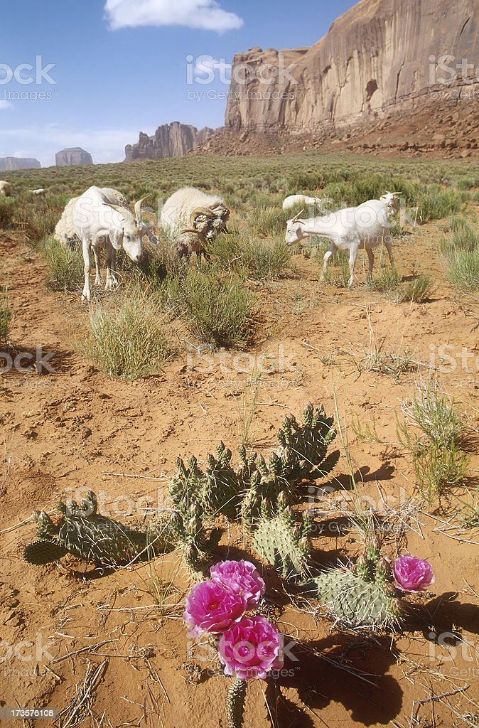 Goats and Cactus Flower royalty-free stock photo