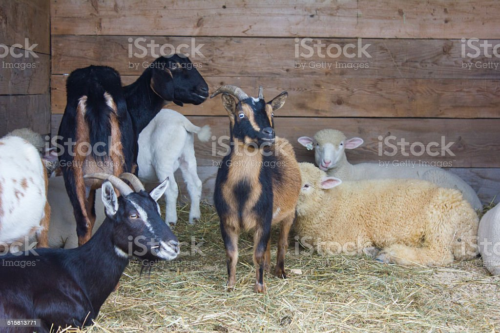 Goats and Sheep Inside a Barn royalty-free stock photo