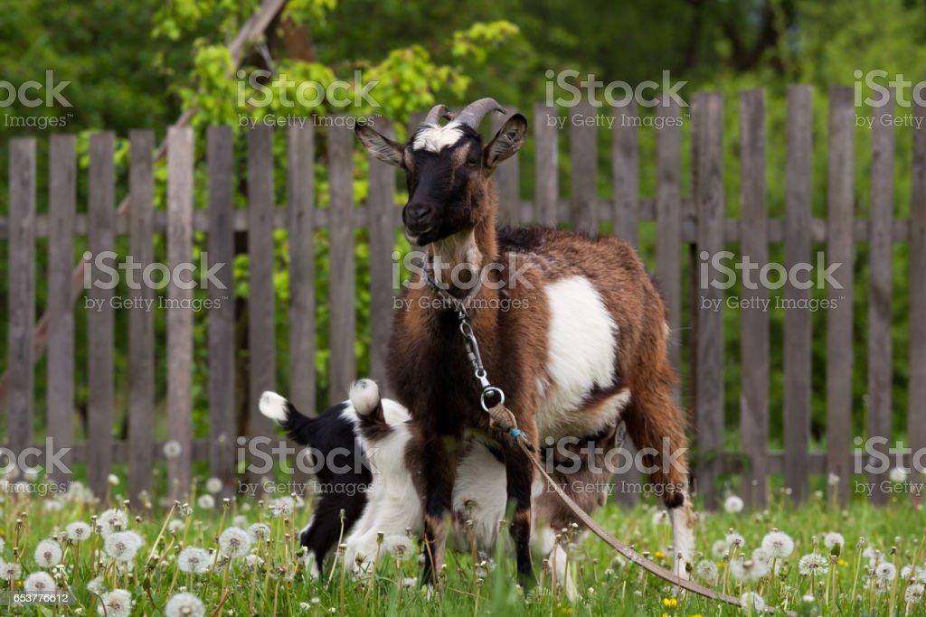 Chèvres sont boire du lait de chèvre de la mère - Photo