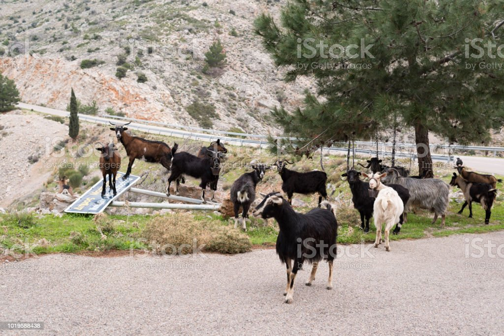 Goats at a Greek Island country road in spring stock photo