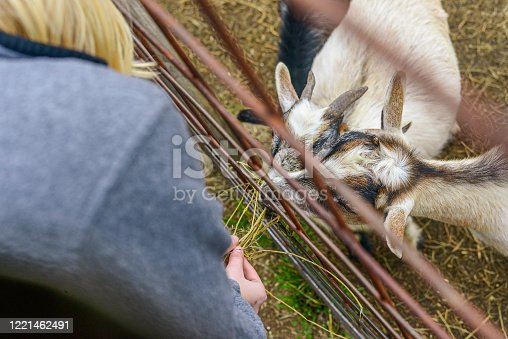 Goats being fed at petting zoo