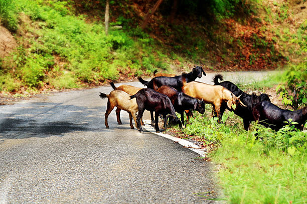 Goats Crossing Road stock photo