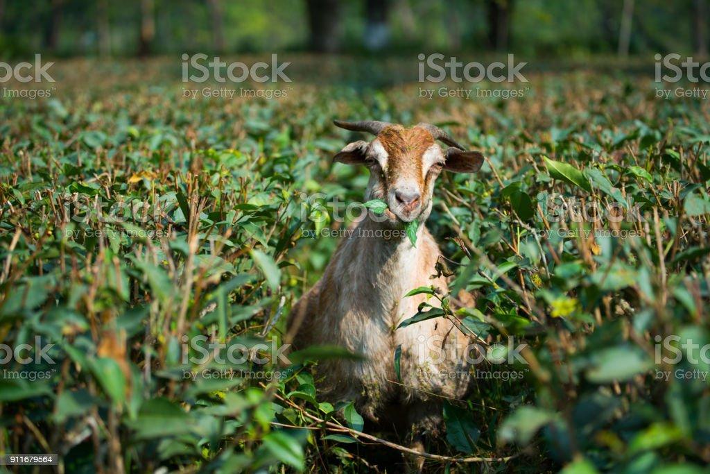 Ziegen essen Gras- und Tee Blatt auf Bauernhof – Foto
