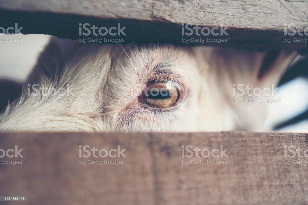 Goat\'s eyes, eyes that the animals communicate