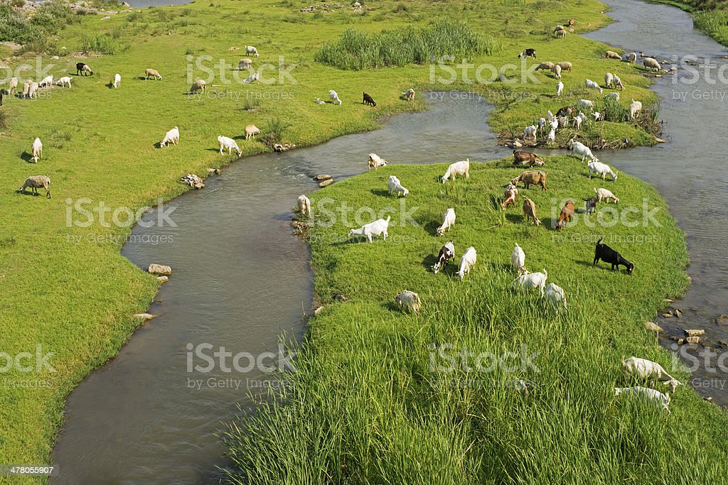 goats feeding on a grass field royalty-free stock photo