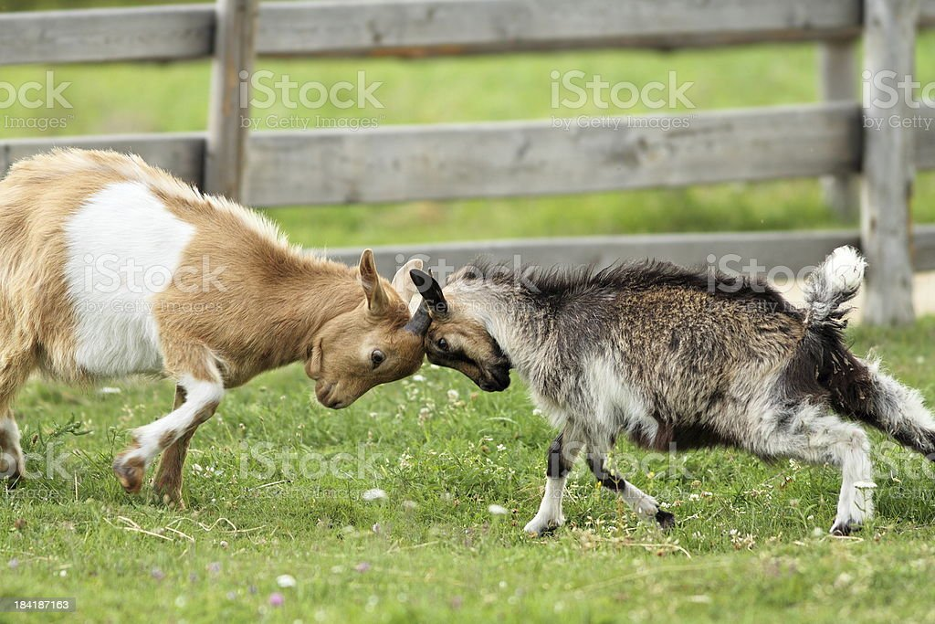goats fighting with their heads stock photo