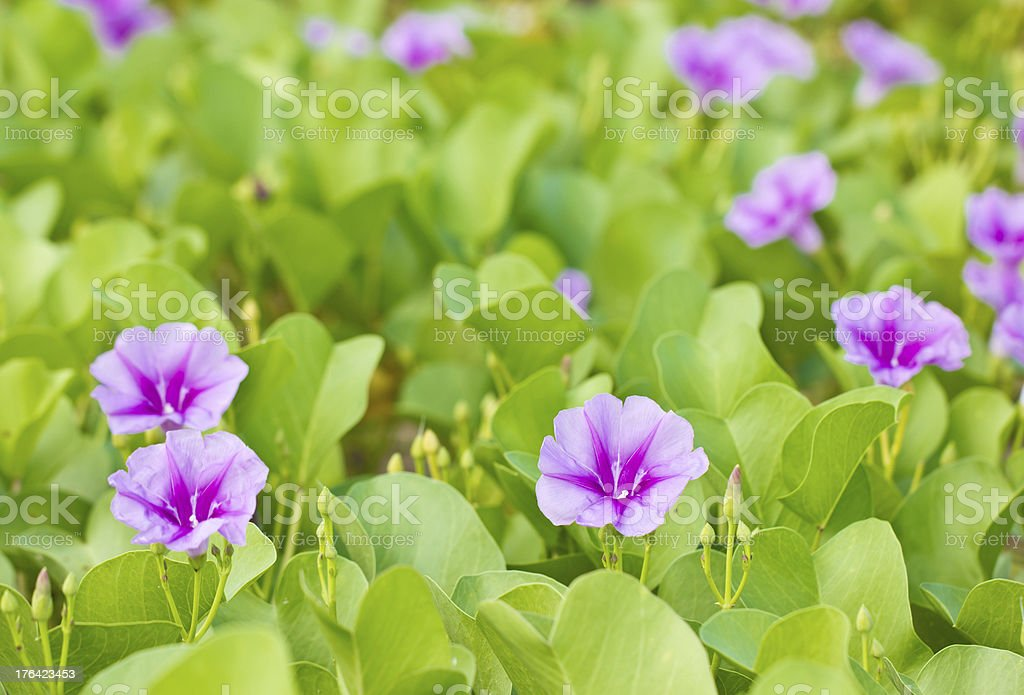 Goat's Foot Creeper or Beach Morning Glory. royalty-free stock photo