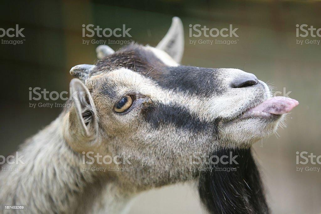 Goat's funny portrait stock photo