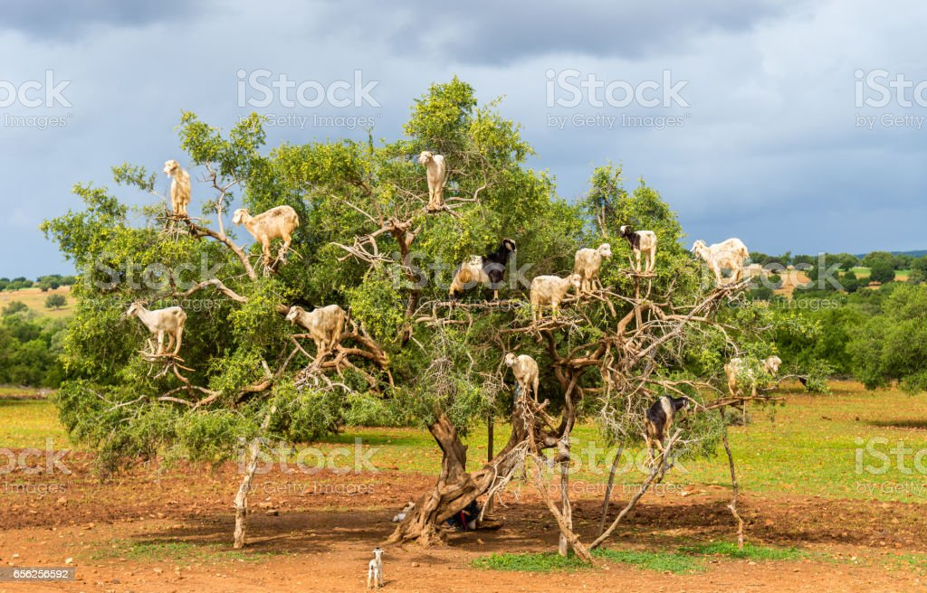 Goats graze in an argan tree - Morocco stock photo