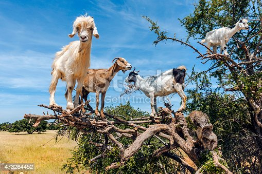A number of of goats happily grazing in an Argan tree near Essaouira, MoroccoNorth Africa Nilon D3x .Some goats that have climbed up an argan tree in Morocco. They climb to better read the argan which they eat.