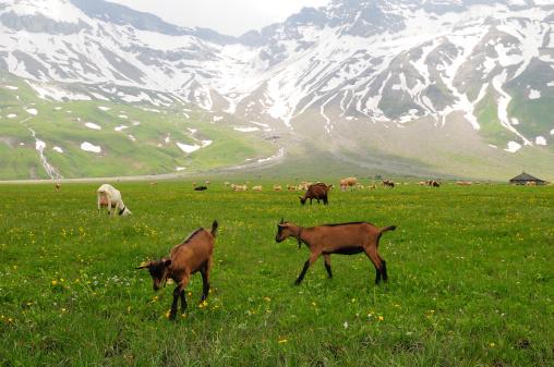 Goats grazing in alpine meadow