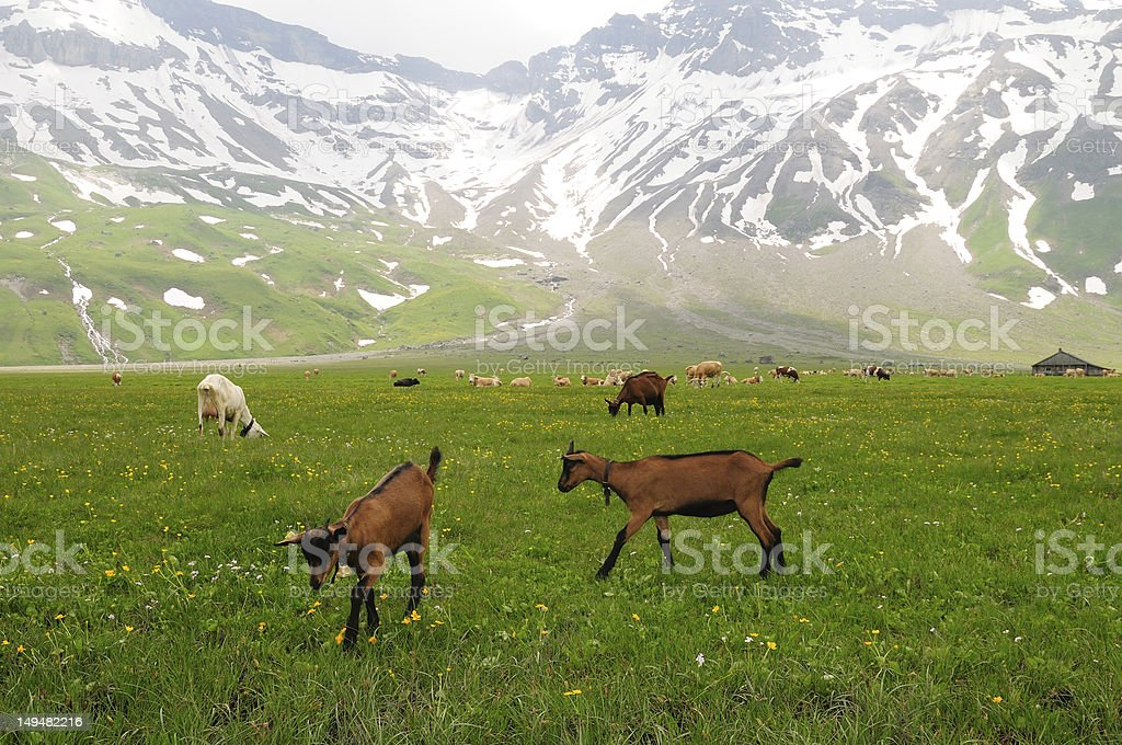 Goats grazing in alpine meadow stock photo
