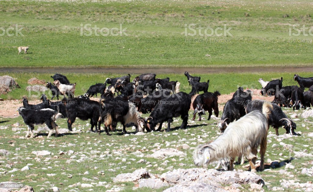 goats grazing in the nature stock photo