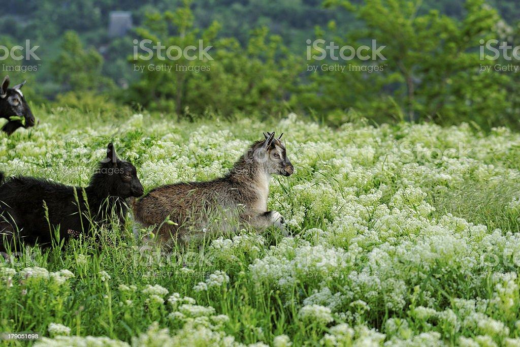 Goats grazing royalty-free stock photo