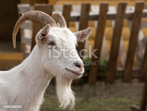 portrait of the white goat at farm near Kazan, Russia