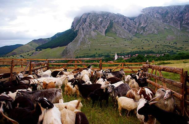 Ziegen in einem schönen farm – Foto