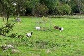 Troupeau de chèvres dans un pré en Bourgogne