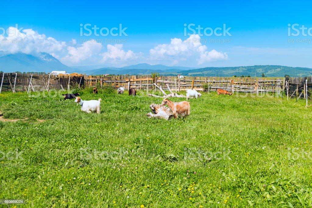 Goats In An Enclosure Rasnov Transylvania Romania stock photo