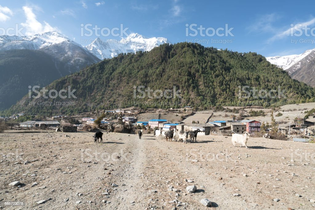 Goats in Annapurna circuit,trekking in Nepal foto de stock royalty-free
